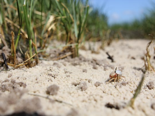 A fiddler crab runs along the beach in front of the
