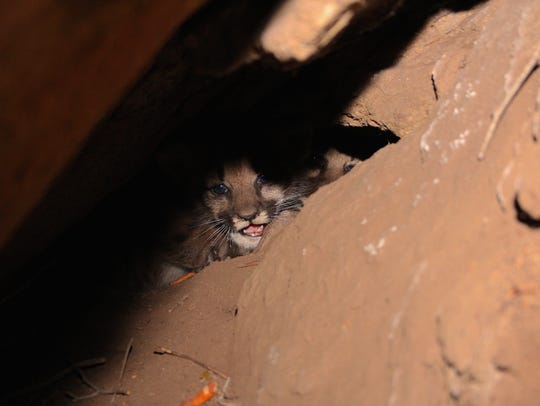 This is one of the four new mountain lion kittens found
