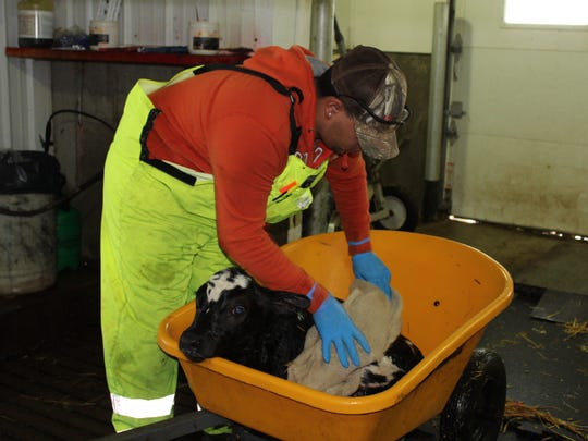 An employee in the dry cow barn at Pagel's Ponderosa Dairy wipes down a newborn calf.