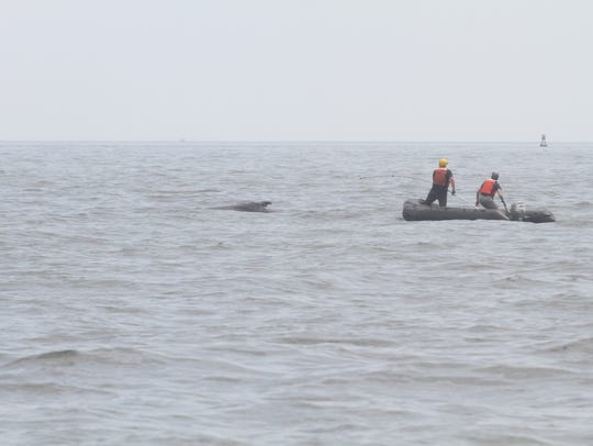 Crews approached the humpback whale on an inflatable