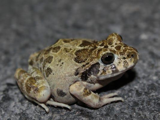 636668675890483244-Barking-Frog-1.JPG
