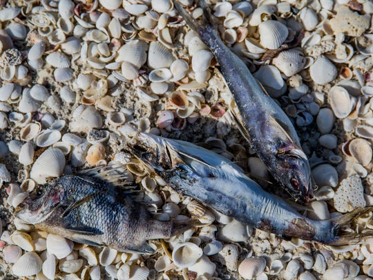 Dead fish washed up along Bonita Beach due to red tide
