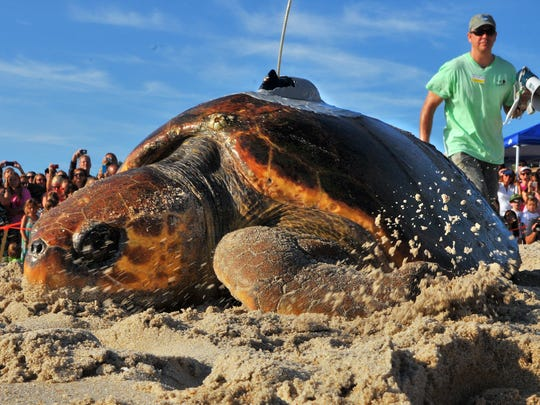Melba, a loggerhead turtle crawls to the Atlantic Ocean