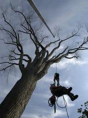 Dan Farr, an arborist technician, is hoisted to the