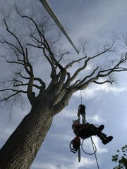 Dan Farr, an arborist technician, is hoisted to the