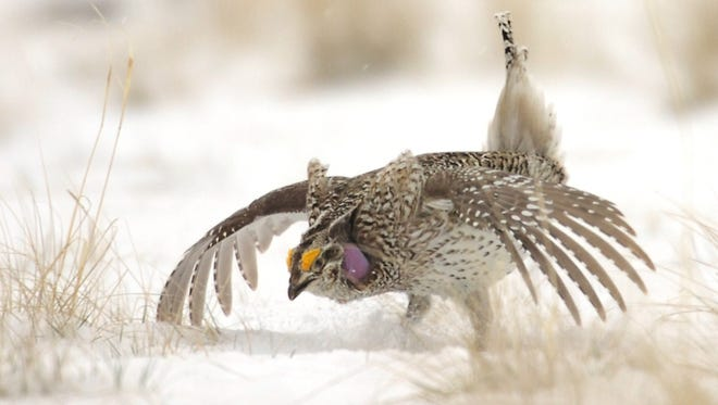 People can make reservations to observe sharp-tailed grouse courtship dances at the Benton Lake National Wildlife Refuge.