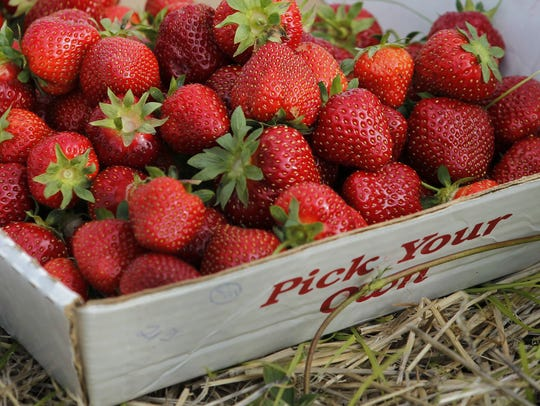 Fresh strawberries picked at Chase Farms in Fairport