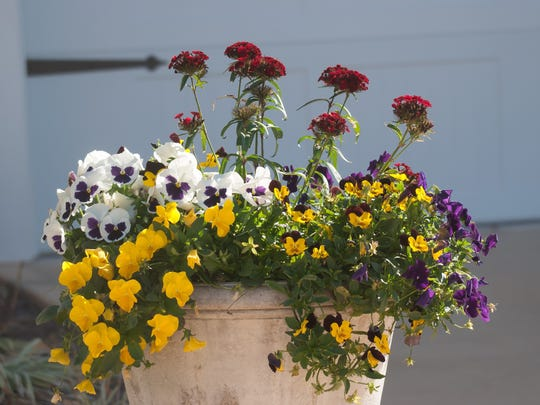 Trailing pansies like Cool Wave or Freefall and dianthus create a stunning container of fragrance and cool season color.