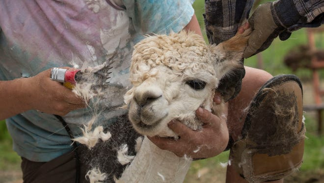 Sam Murphy, of New Zealand along with the help of Lynsey Jean Bowie, of England, works on shearing one of many alpacas for Alpaca Shearing Day at Springtime Farms in Salem, Oregon Saturday May 26, 2018. About 45 alpacas received their summer cut during the annual event. It is important for the alpacas to get these cuts so they can stay cooler going into the summer months.