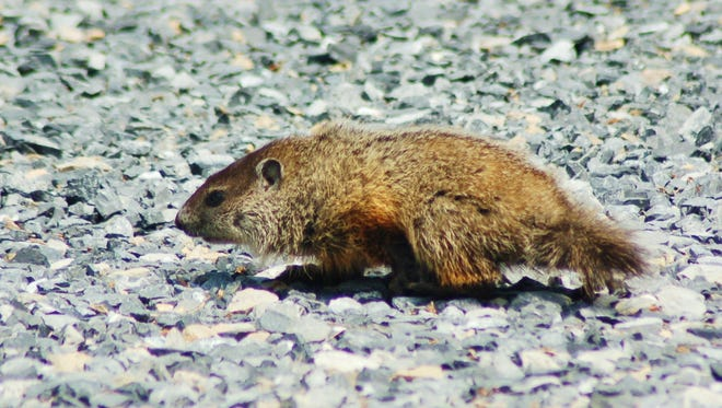 A young groundhog may be looking for a new home. Beware of wildlife when driving on the roads this time of year.