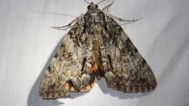 Moth Night is coming to Highland Woods Nature Preserve.