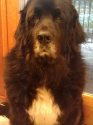 Nero, a Newfoundland mastiff that is credited by his owners with saving their lives when he roused them during a house fire, has gone missing.