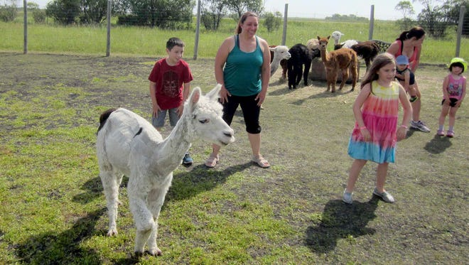 An alpaca by the name of Woodward leads Max, Kim, & Mikenah Mullally in a class at 313 Farms in Anola, Manitoba.