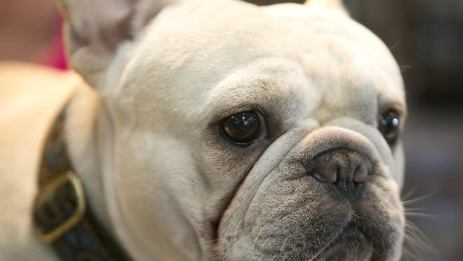 Rocko the French bulldog poses at Tom's Paint & Decorating in Wisconsin Rapids on Monday, June 29.