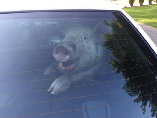 A pig is pictured in the back of a Shelby Township police cruiser on May 28, 2015. After the department posted the photo to its Facebook, it drew chuckles around the world.
