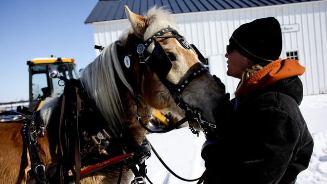 Volunteer Tiffany Gillam, of Brown City, pets Sunny, a Haflinger horse, during Sleigh Days at Goodells County Park. Wagon rides in the sunshine will be from 11 a.m. to 5 p.m. today.