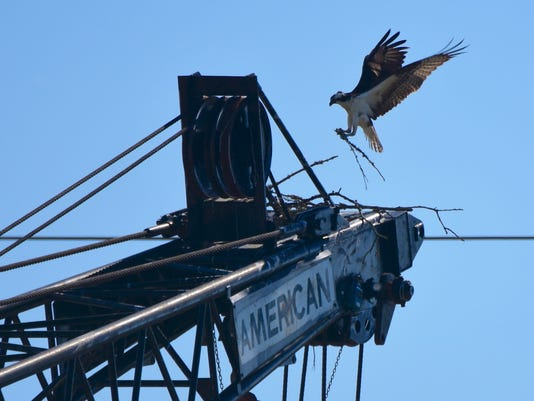 Osprey builds nest on construction crane