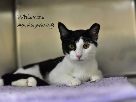 Whiskers - Female (spayed) domestic short hair, adult.