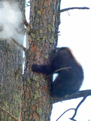 One of the nonlethal bullets hits right above the bear,