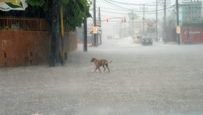 A dog crosses a street under heavy rain in downtown Kingston, Jamaica, on Oct. 2.