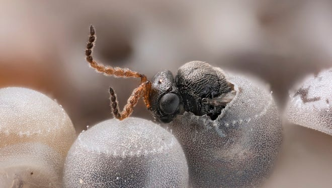 A samurai wasp emerges from the egg of a brown marmorated stink bug.