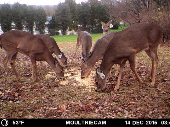 An image, taken from a trail cam, of some of Clifton's deer after the sterilization program concluded.