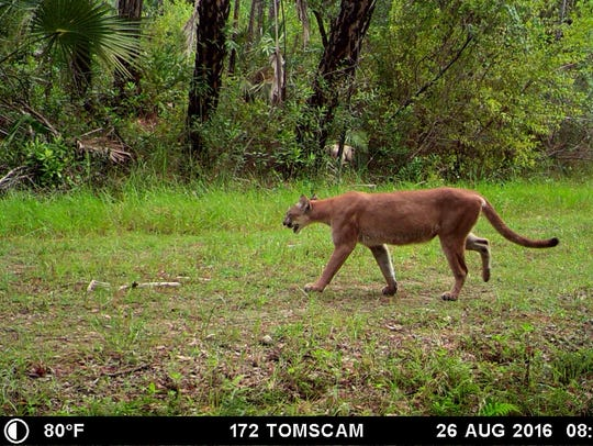 A panther walks along a trail on lands managed by CREW