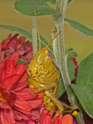 Bill Miller of the Town of Poughkeepsie submitted this photo of a grasshopper he spotted in the bushes by his mailbox. Do you have any nature photos to share? Send them to dradwin@poughkeepsiejournal.com.