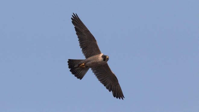 A peregrine falcon soars Wednesday over Wilmington.