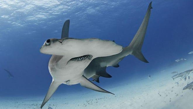 The shark is often misunderstood.