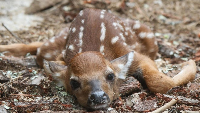 A newborn deer in Wharton State Forest in the New Jersey Pine Barrens.