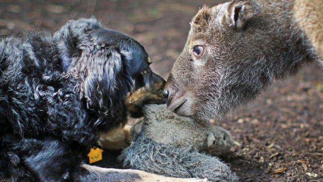 Blakely, a 5-year-old Australian Shepherd, is the live-in 'nanny' who helps play with and socialize babies at the Cincinnati Zoo and Botanical Garden nursery. Babies often come to the nursery when their mother has rejected them.