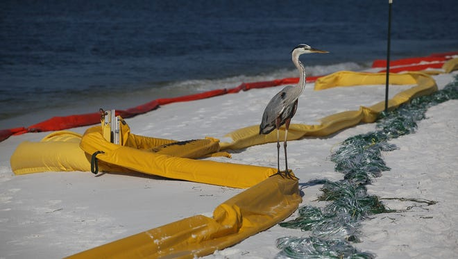 PENSACOLA, FL - JUNE 07:  A great blue heron stands on oil containment booms that are being used to protect the beach area from the Deepwater Horizon oil spill in the Gulf of Mexico on June 7, 2010 in Pensacola, Florida.