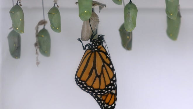 Monarch butterfly hangs from its cocoon  at the Conservatory of Flowers in Golden Gate Park in San Francisco.
