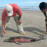 Experts measure a dead dolphin lying on a beach in the northern coast of Peru close to Chiclayo, some 750 km north of Lima, on April 11, 2012.