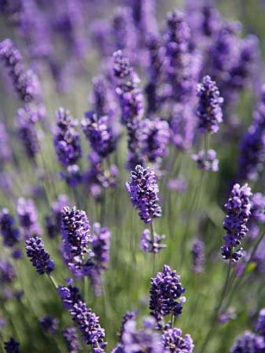 July is lavender's time to shine in July. It blooms