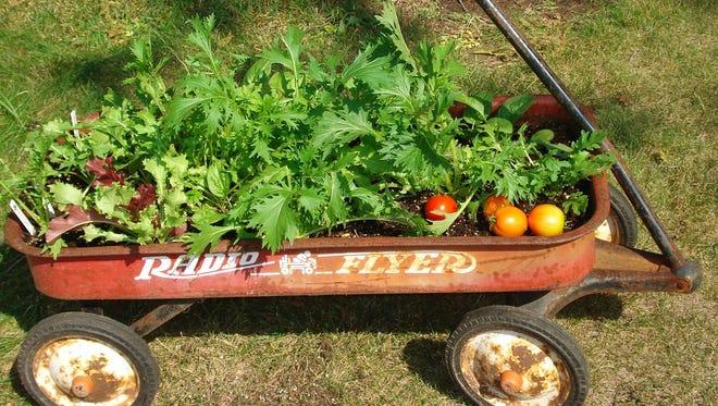 Salad greens grow in an old wagon.