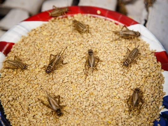 Crickets snack on chicken feed and live in egg containers
