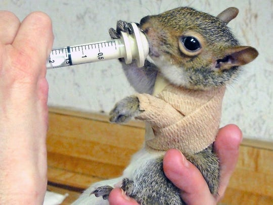 This baby squirrel suffered a fractured humerus when