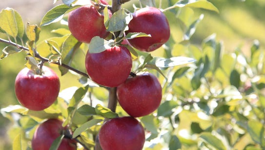 SnapDragon is a new Cornell apple variety.