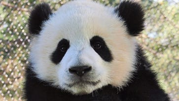 Baby panda alert! Toronto Zoo has 9-month-old twins