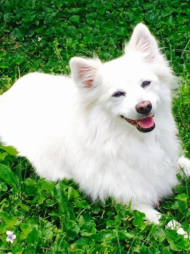 Daisy is an American Eskimo Spitz and is 15 years old. She still walks or runs several miles with Teresa McCollum every day.
