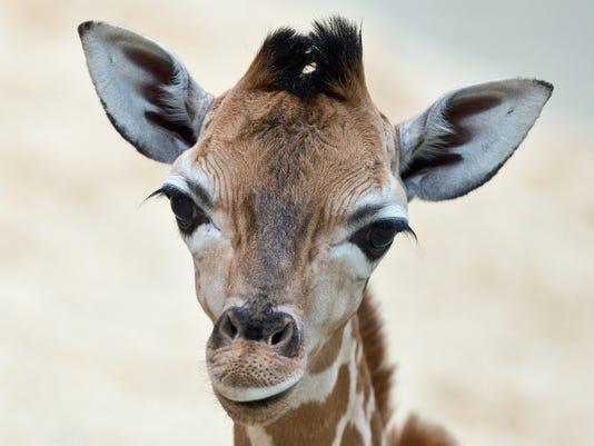 AP_Germany_Baby_Giraffe