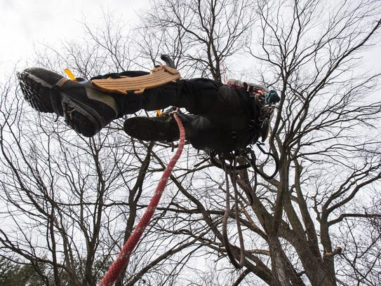 Arborist Mac Swan climbs a rope before cutting branches