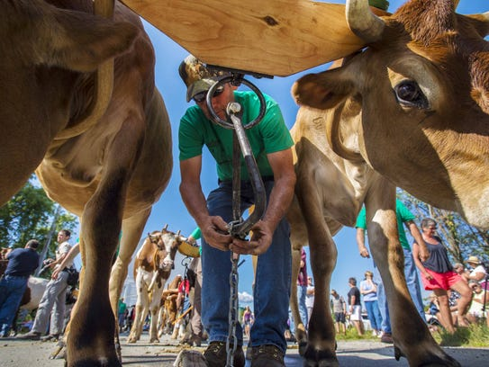 Robert Judd of Troy hitches up one of 23 pairs of oxen