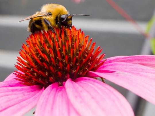 A bumblebee feeds on pollen from a purple coneflower Aug. 16 in Burlington's South End.