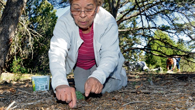 In this Friday, Oct. 7, 2016 photo, Joyce Sandoval of Santa Fe, N.M. harvests pinion nuts in Pecos, N.M.. Sandoval has harvested pinion nuts for decades and says it therapeutic and relaxing.