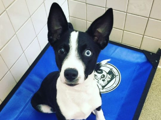 Iris is a 3-month-old Siberian husky/Australian shepherd mix looking for a forever home.
