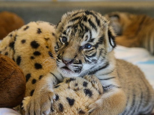 636229311780065531-tiger-cub-with-toy.jpg