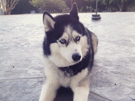 Juneau, a nearly 9-year-old Siberian Husky, who belongs to breaking news reporter Justin Sayers.